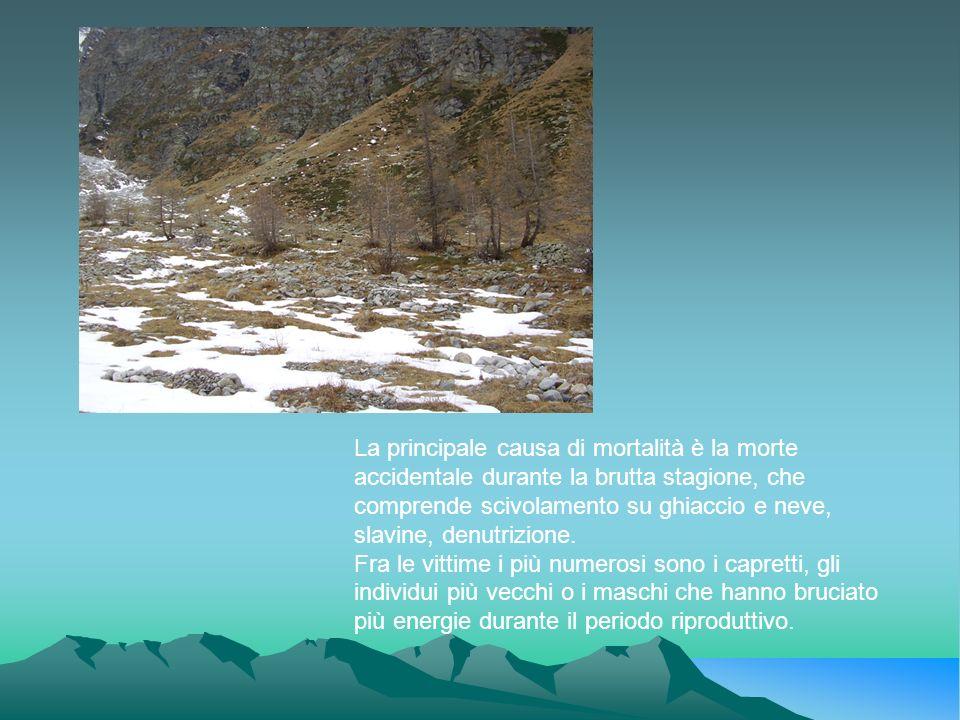 La principale causa di mortalità è la morte accidentale durante la brutta stagione, che comprende scivolamento su ghiaccio e neve, slavine, denutrizio
