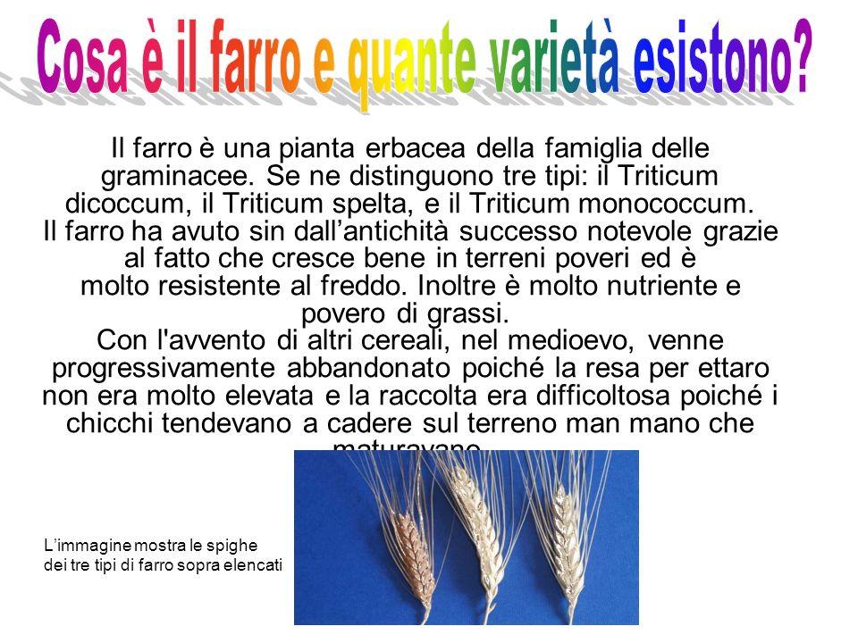 Il farro è una pianta erbacea della famiglia delle graminacee. Se ne distinguono tre tipi: il Triticum dicoccum, il Triticum spelta, e il Triticum mon