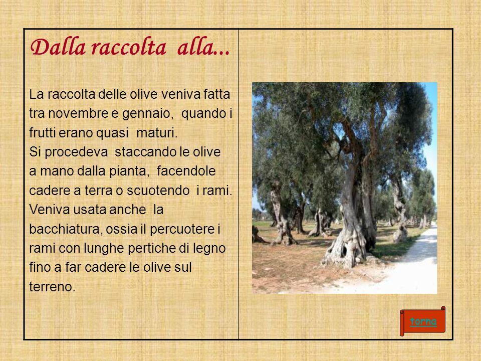 Dalla raccolta alla... La raccolta delle olive veniva fatta tra novembre e gennaio, quando i frutti erano quasi maturi. Si procedeva staccando le oliv
