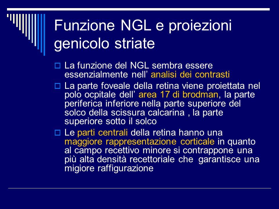Funzione NGL e proiezioni genicolo striate La funzione del NGL sembra essere essenzialmente nell analisi dei contrasti La parte foveale della retina v