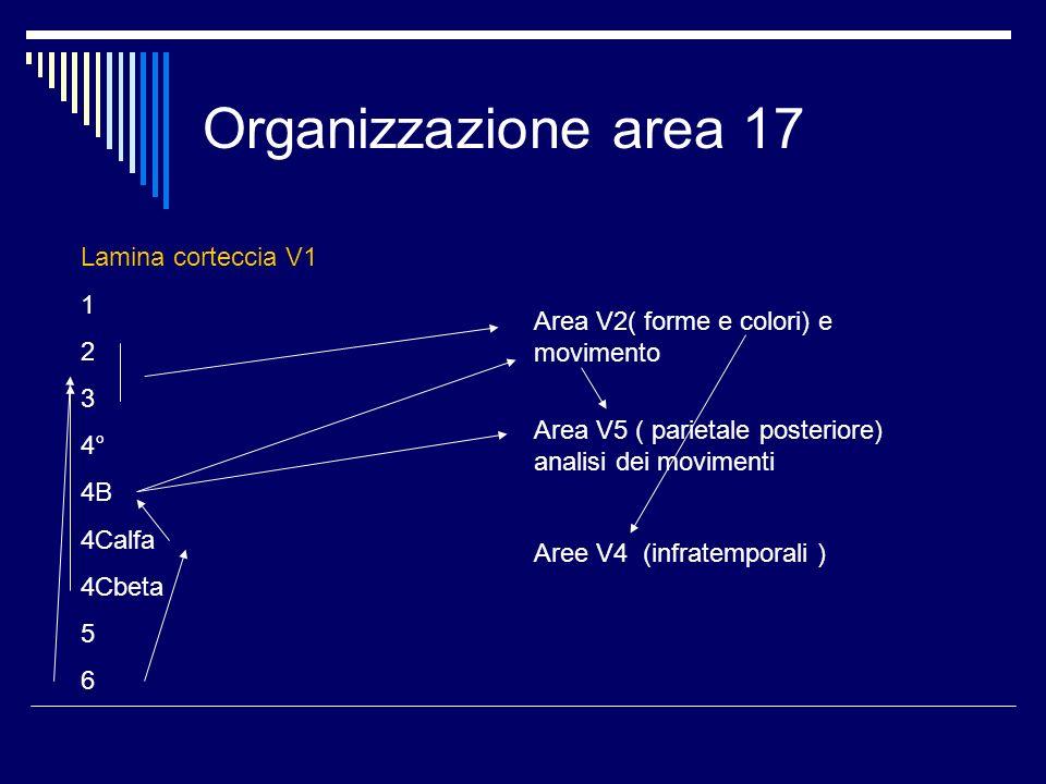 Organizzazione area 17 Lamina corteccia V1 1 2 3 4° 4B 4Calfa 4Cbeta 5 6 Area V2( forme e colori) e movimento Area V5 ( parietale posteriore) analisi