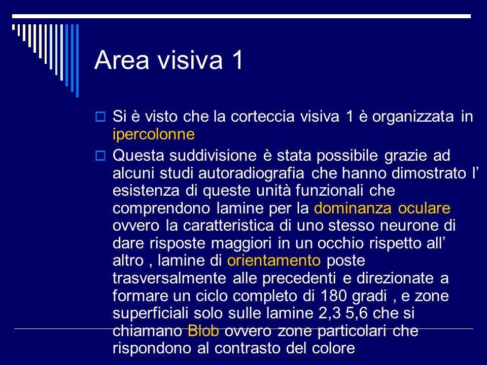 Area visiva 1 Si è visto che la corteccia visiva 1 è organizzata in ipercolonne Questa suddivisione è stata possibile grazie ad alcuni studi autoradio