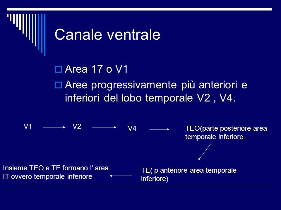 Canale ventrale Area 17 o V1 Aree progressivamente più anteriori e inferiori del lobo temporale V2, V4. V1V2 V4TEO(parte posteriore area temporale inf