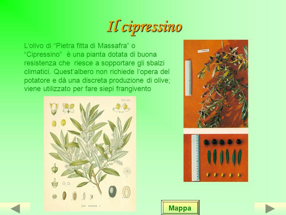 LE VARIETA DI OLIVE IN ITALIA In Europa numerose sono le varietà di ulivo che gli studiosi hanno cercato di classificare, alcuni in base alla forma de