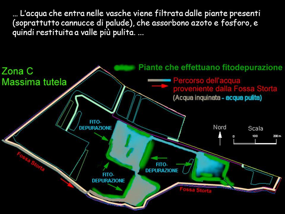 … Lacqua che entra nelle vasche viene filtrata dalle piante presenti (soprattutto cannucce di palude), che assorbono azoto e fosforo, e quindi restitu