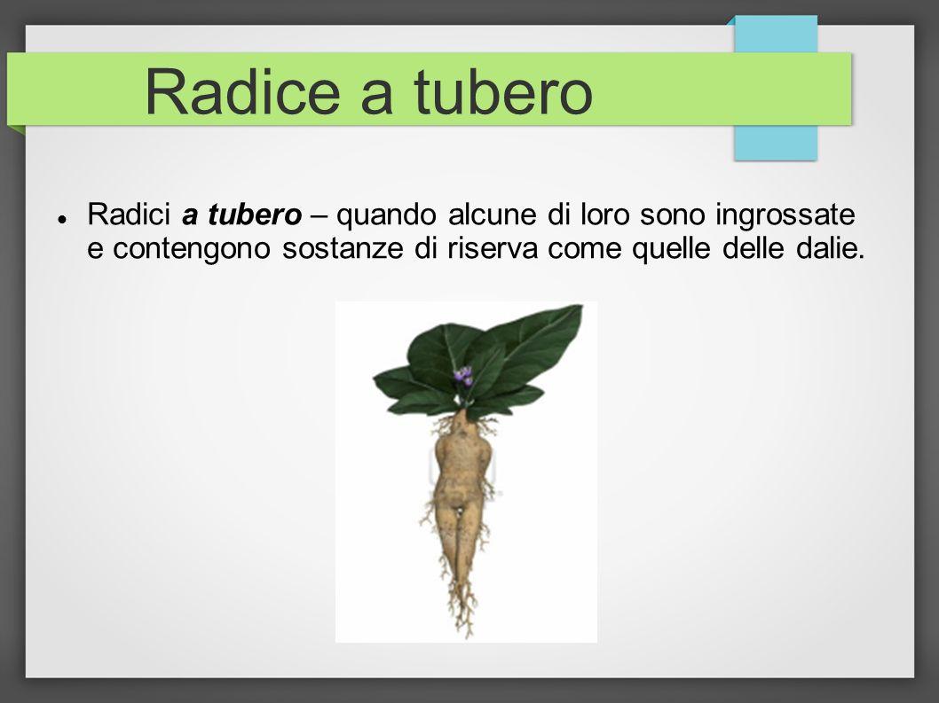 Radice a tubero Radici a tubero – quando alcune di loro sono ingrossate e contengono sostanze di riserva come quelle delle dalie.