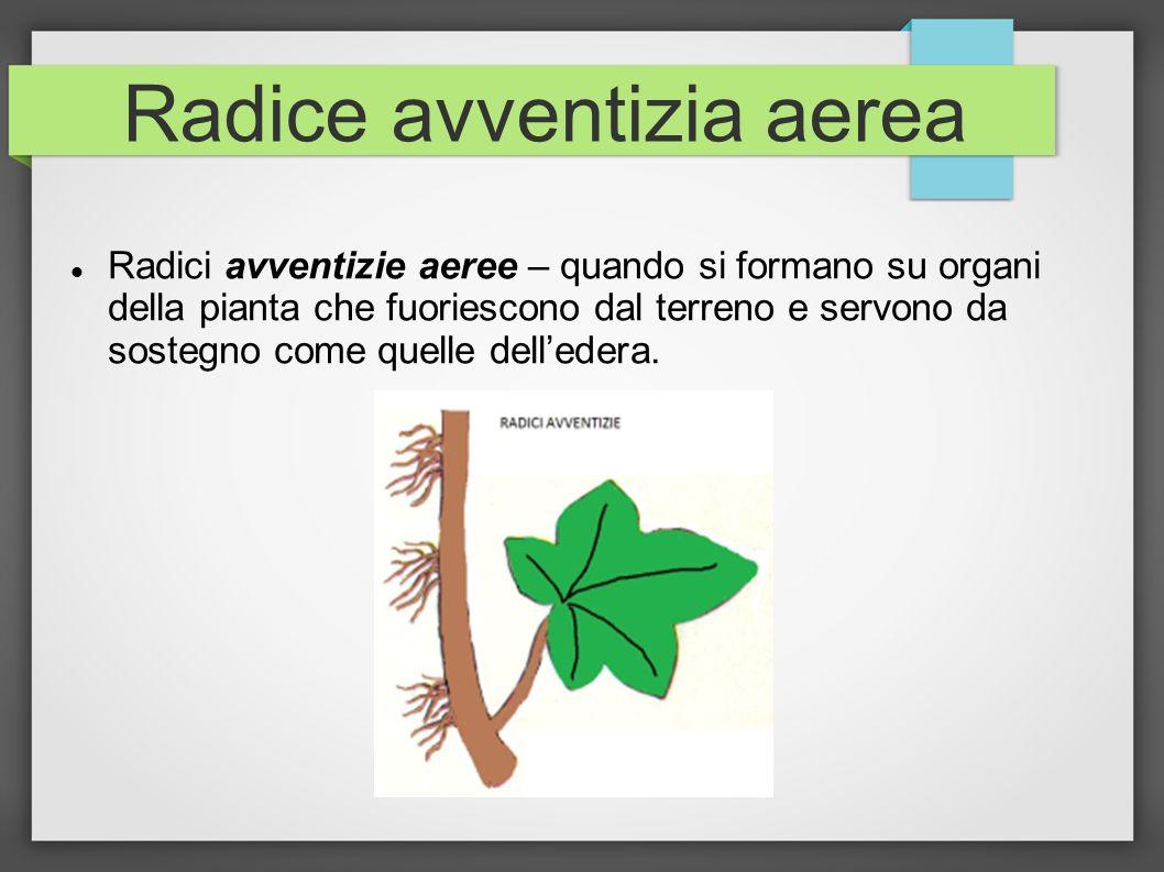 Radice avventizia aerea Radici avventizie aeree – quando si formano su organi della pianta che fuoriescono dal terreno e servono da sostegno come quel