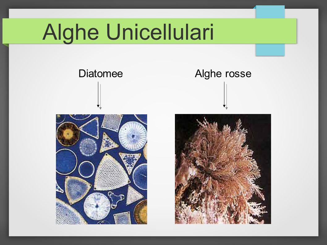 Alghe Unicellulari DiatomeeAlghe rosse