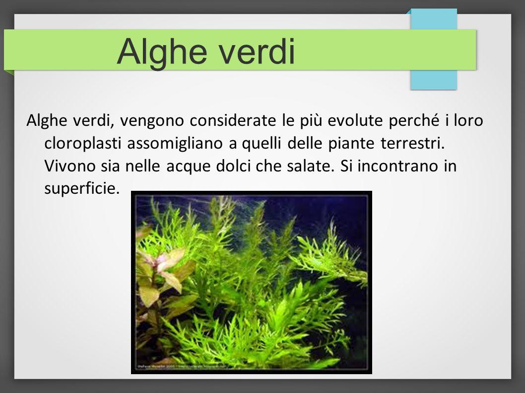 Alghe verdi Alghe verdi, vengono considerate le più evolute perché i loro cloroplasti assomigliano a quelli delle piante terrestri. Vivono sia nelle a