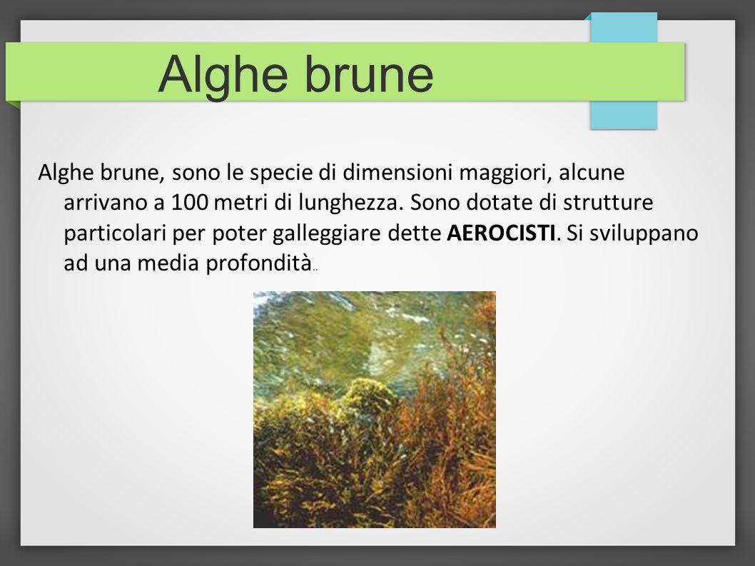Alghe brune Alghe brune, sono le specie di dimensioni maggiori, alcune arrivano a 100 metri di lunghezza. Sono dotate di strutture particolari per pot