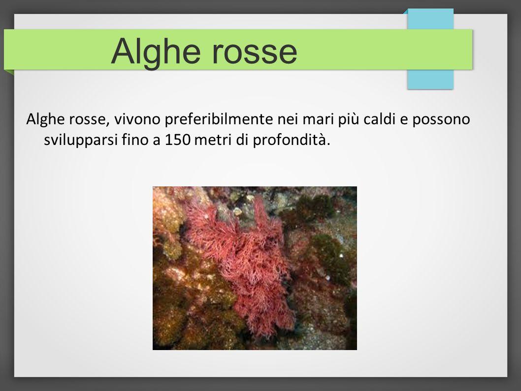 Alghe rosse Alghe rosse, vivono preferibilmente nei mari più caldi e possono svilupparsi fino a 150 metri di profondità.