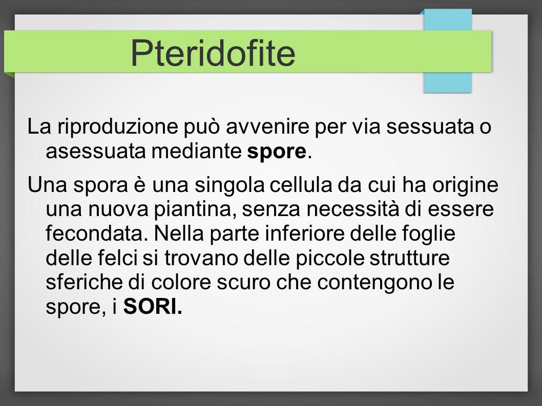 Pteridofite La riproduzione può avvenire per via sessuata o asessuata mediante spore. Una spora è una singola cellula da cui ha origine una nuova pian