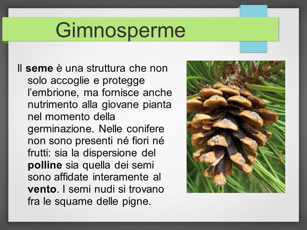 Gimnosperme Il seme è una struttura che non solo accoglie e protegge lembrione, ma fornisce anche nutrimento alla giovane pianta nel momento della ger