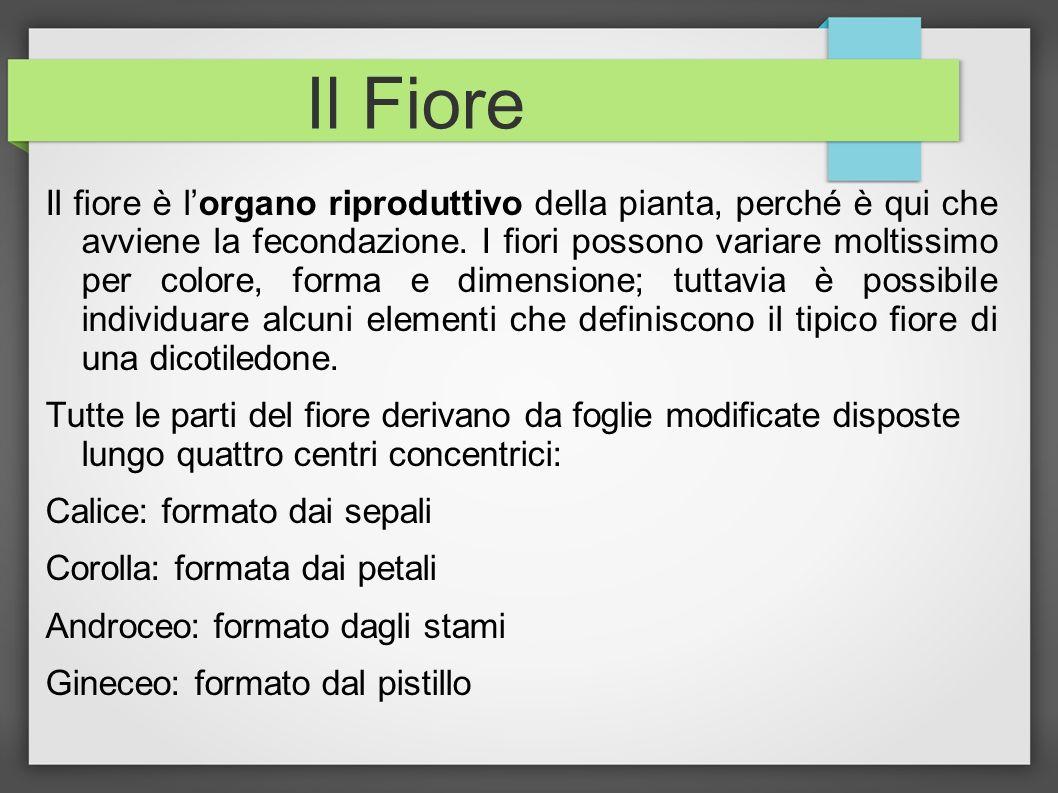 Il Fiore Il fiore è lorgano riproduttivo della pianta, perché è qui che avviene la fecondazione. I fiori possono variare moltissimo per colore, forma