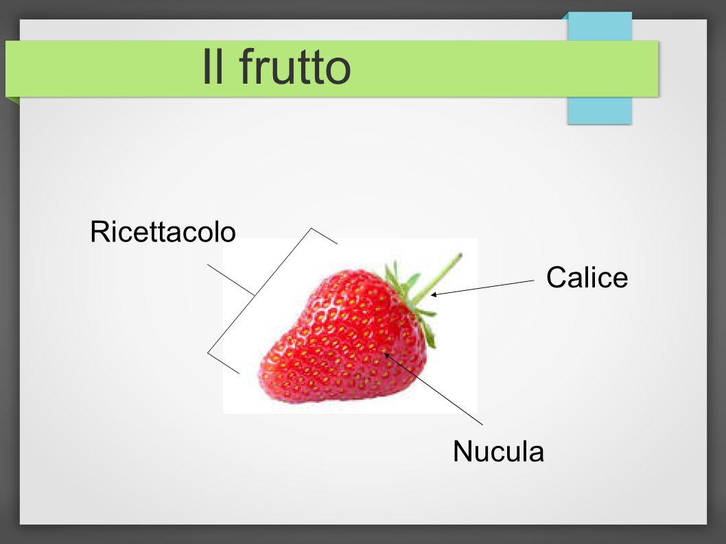 Il frutto Calice Nucula Ricettacolo