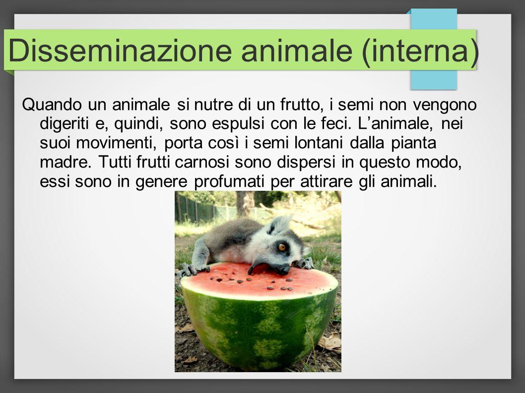Disseminazione animale (interna) Quando un animale si nutre di un frutto, i semi non vengono digeriti e, quindi, sono espulsi con le feci. Lanimale, n