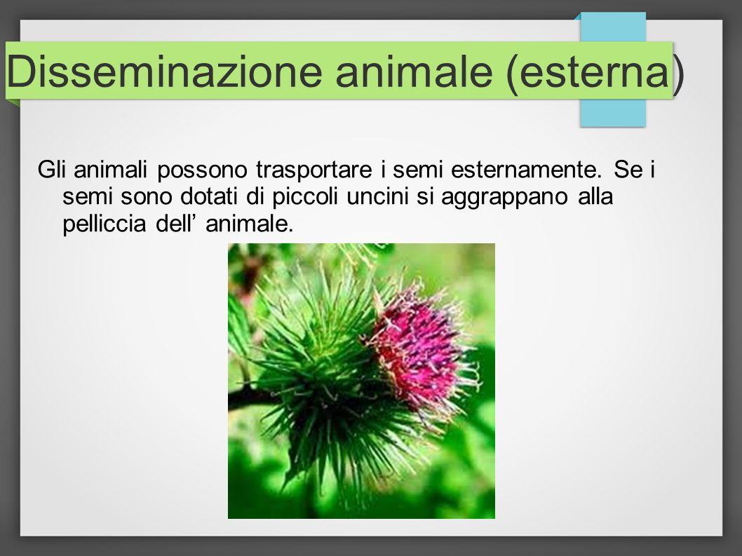 Disseminazione animale (esterna) Gli animali possono trasportare i semi esternamente. Se i semi sono dotati di piccoli uncini si aggrappano alla pelli