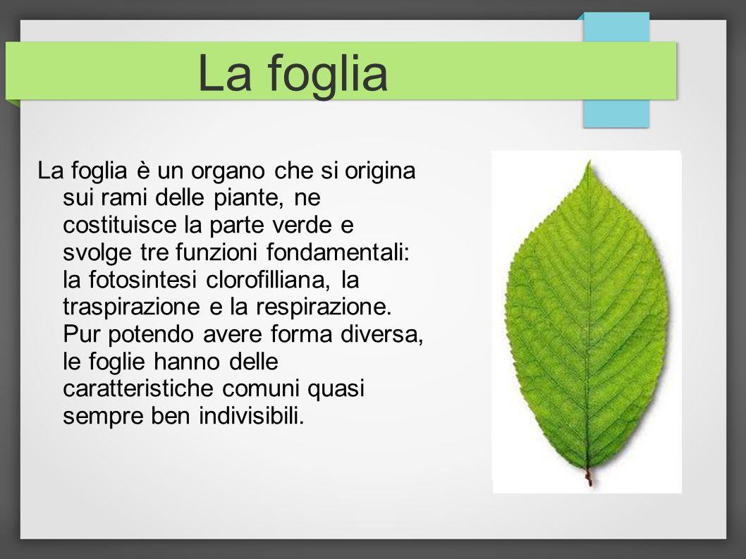 La foglia La foglia è un organo che si origina sui rami delle piante, ne costituisce la parte verde e svolge tre funzioni fondamentali: la fotosintesi