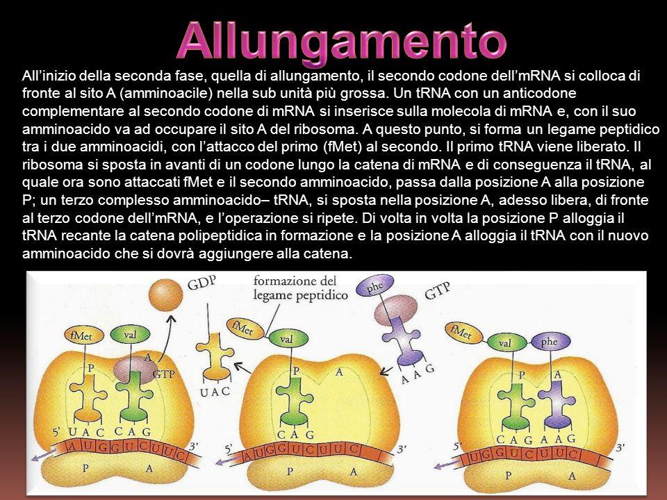 Allinizio della seconda fase, quella di allungamento, il secondo codone dellmRNA si colloca di fronte al sito A (amminoacile) nella sub unità più gros