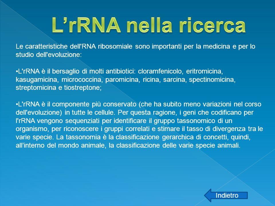 Le caratteristiche dell'RNA ribosomiale sono importanti per la medicina e per lo studio dell'evoluzione: L'rRNA è il bersaglio di molti antibiotici: c