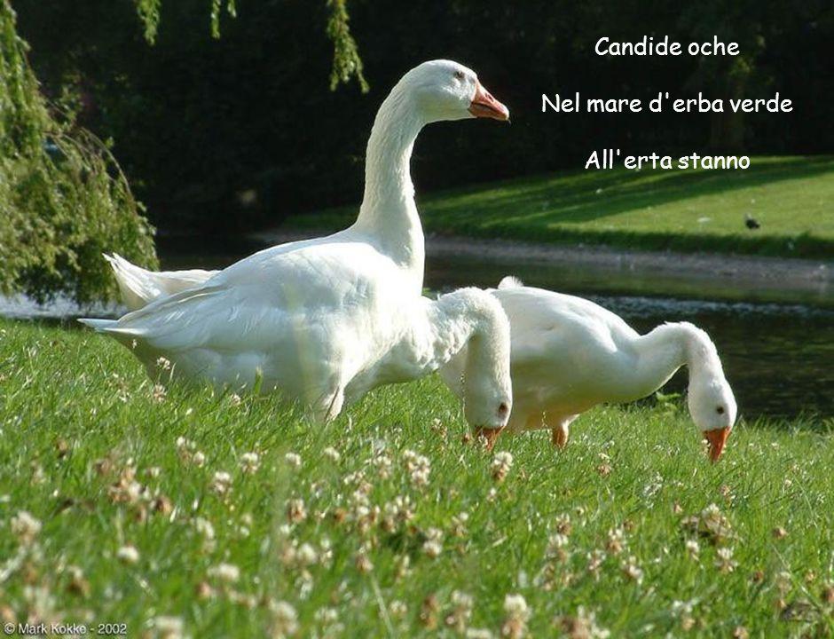 Candide oche Nel mare d'erba verde All'erta stanno