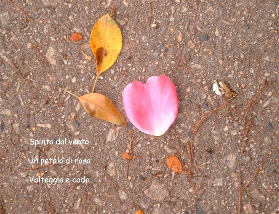 Spinto dal vento Un petalo di rosa Volteggia e cade