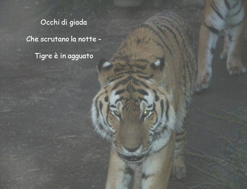 Occhi di giada Che scrutano la notte - Tigre è in agguato