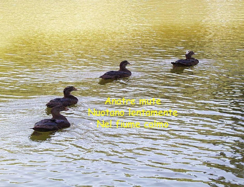 Anatre mute Nuotano lentamente Nel fiume calmo