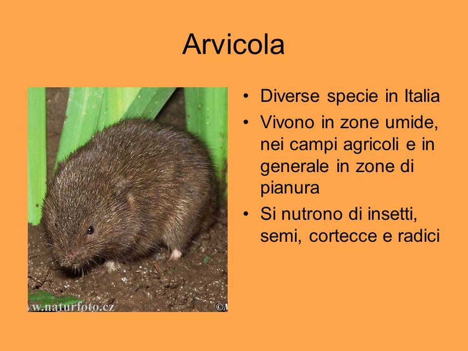 Arvicola Diverse specie in Italia Vivono in zone umide, nei campi agricoli e in generale in zone di pianura Si nutrono di insetti, semi, cortecce e ra