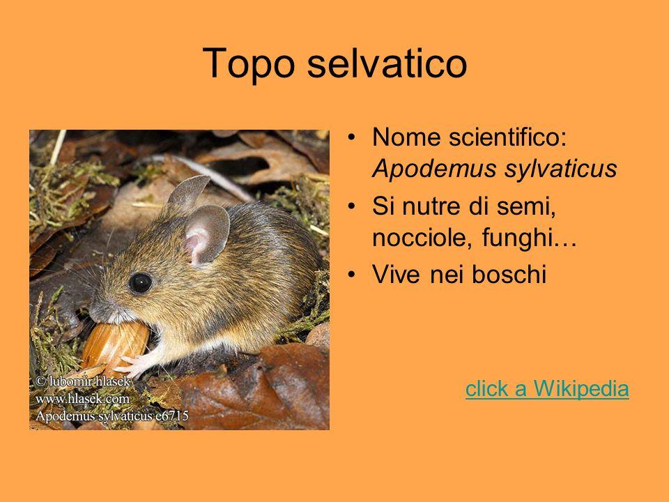 Topo selvatico Nome scientifico: Apodemus sylvaticus Si nutre di semi, nocciole, funghi… Vive nei boschi click a Wikipedia