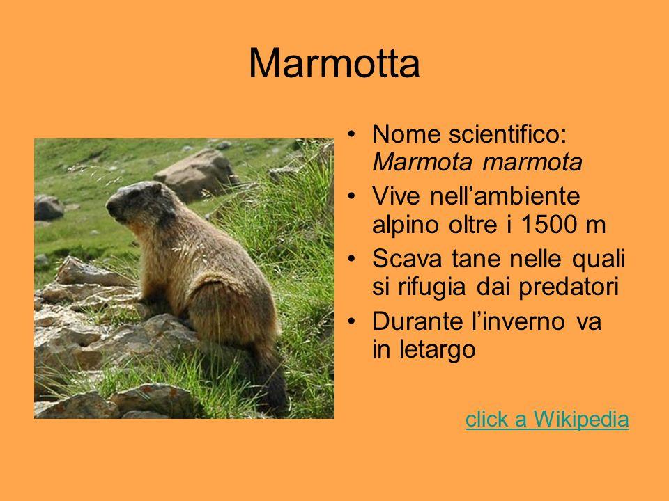 Marmotta Nome scientifico: Marmota marmota Vive nellambiente alpino oltre i 1500 m Scava tane nelle quali si rifugia dai predatori Durante linverno va