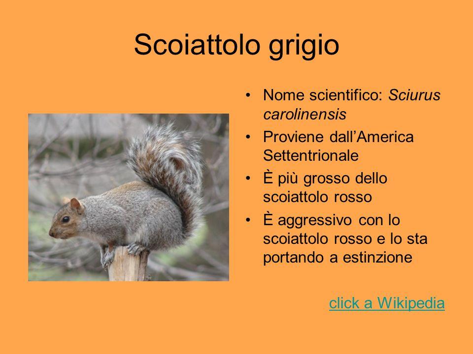 Scoiattolo grigio Nome scientifico: Sciurus carolinensis Proviene dallAmerica Settentrionale È più grosso dello scoiattolo rosso È aggressivo con lo s