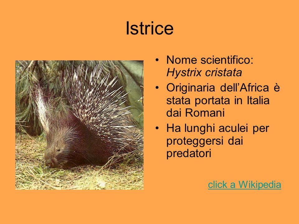 Istrice Nome scientifico: Hystrix cristata Originaria dellAfrica è stata portata in Italia dai Romani Ha lunghi aculei per proteggersi dai predatori c