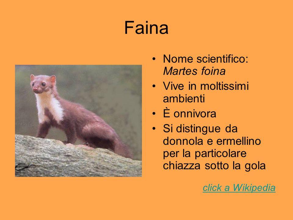 Faina Nome scientifico: Martes foina Vive in moltissimi ambienti È onnivora Si distingue da donnola e ermellino per la particolare chiazza sotto la go