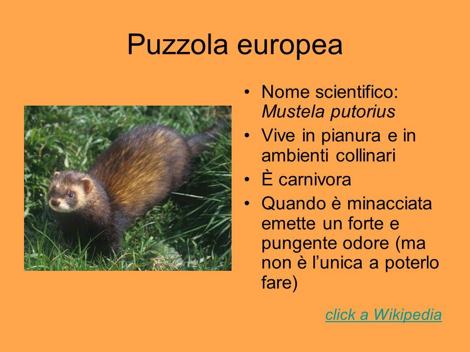 Puzzola europea Nome scientifico: Mustela putorius Vive in pianura e in ambienti collinari È carnivora Quando è minacciata emette un forte e pungente