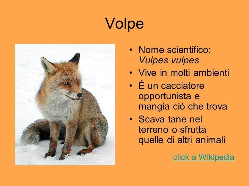 Volpe Nome scientifico: Vulpes vulpes Vive in molti ambienti È un cacciatore opportunista e mangia ciò che trova Scava tane nel terreno o sfrutta quel