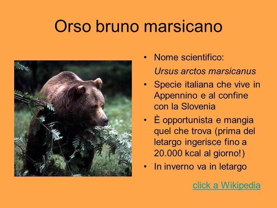 Orso bruno marsicano Nome scientifico: Ursus arctos marsicanus Specie italiana che vive in Appennino e al confine con la Slovenia È opportunista e man