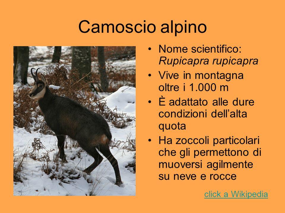 Camoscio alpino Nome scientifico: Rupicapra rupicapra Vive in montagna oltre i 1.000 m È adattato alle dure condizioni dellalta quota Ha zoccoli parti