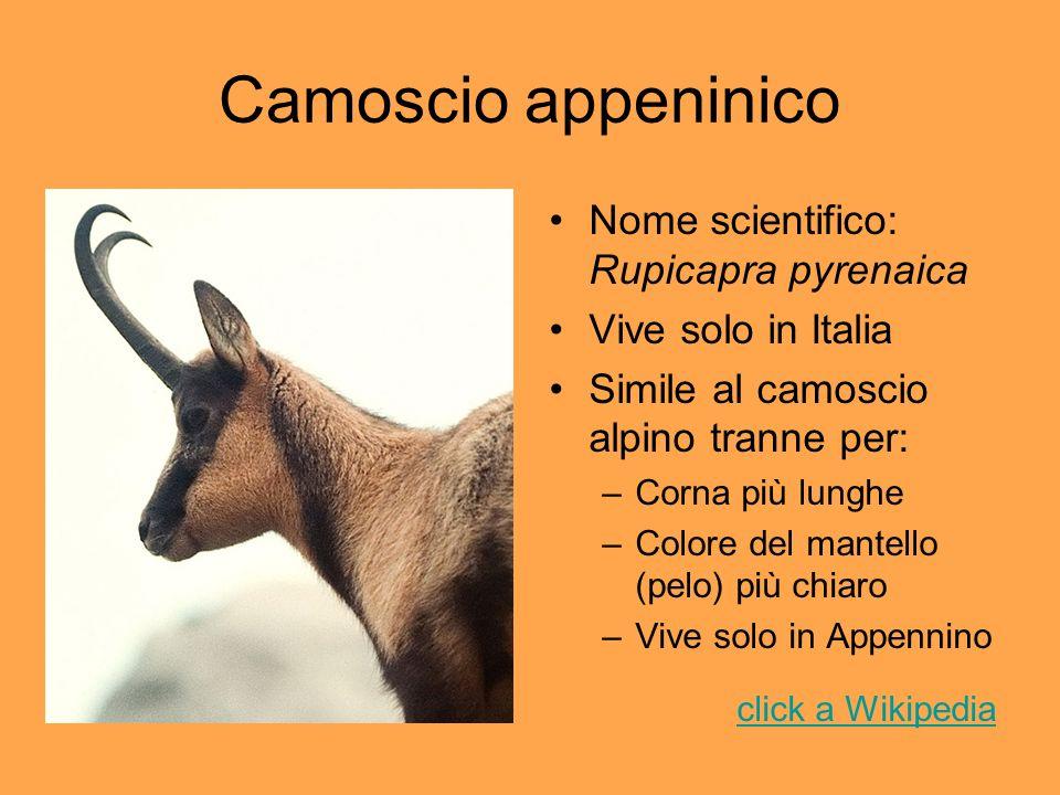 Camoscio appeninico Nome scientifico: Rupicapra pyrenaica Vive solo in Italia Simile al camoscio alpino tranne per: –Corna più lunghe –Colore del mant