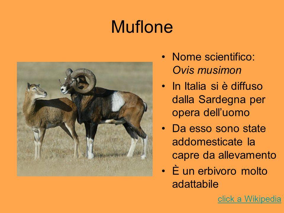 Muflone Nome scientifico: Ovis musimon In Italia si è diffuso dalla Sardegna per opera delluomo Da esso sono state addomesticate la capre da allevamen