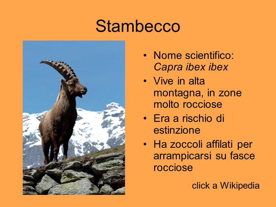Stambecco Nome scientifico: Capra ibex ibex Vive in alta montagna, in zone molto rocciose Era a rischio di estinzione Ha zoccoli affilati per arrampic