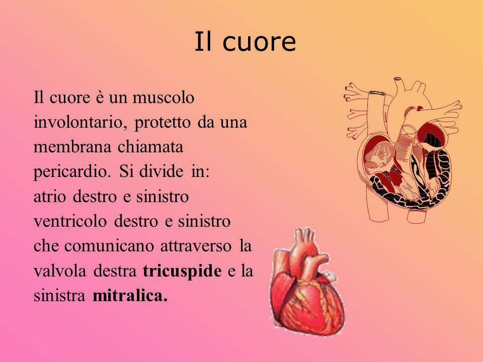 Il cuore Il cuore è un muscolo involontario, protetto da una membrana chiamata pericardio. Si divide in: atrio destro e sinistro ventricolo destro e s