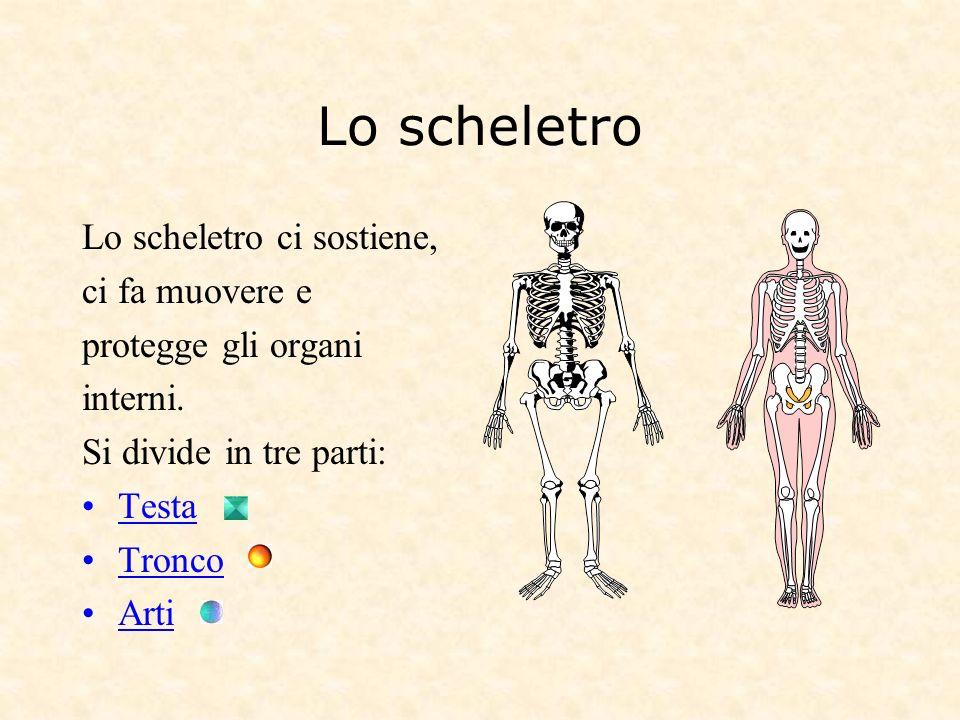 Lo scheletro Lo scheletro ci sostiene, ci fa muovere e protegge gli organi interni. Si divide in tre parti: Testa Tronco Arti