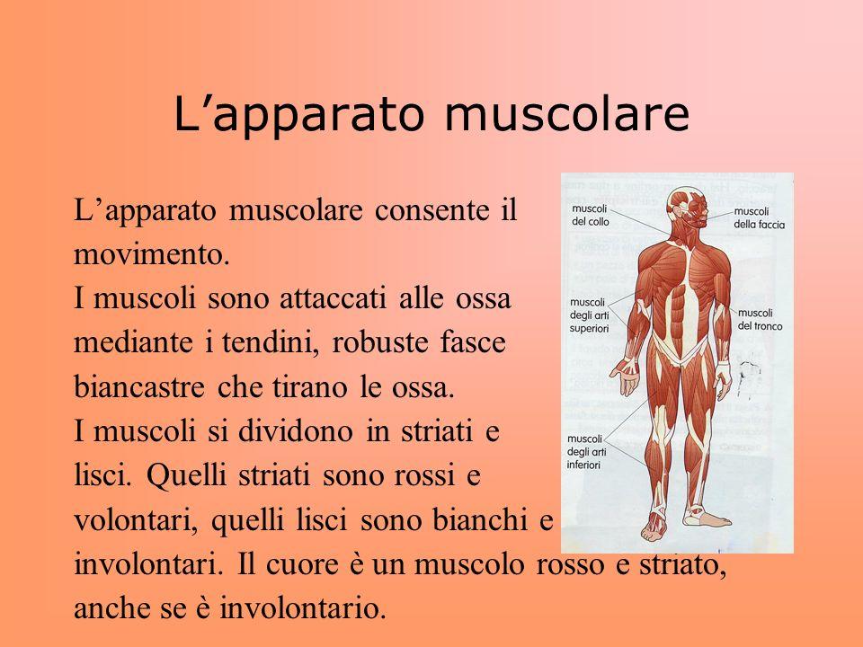 Lapparato muscolare Lapparato muscolare consente il movimento. I muscoli sono attaccati alle ossa mediante i tendini, robuste fasce biancastre che tir