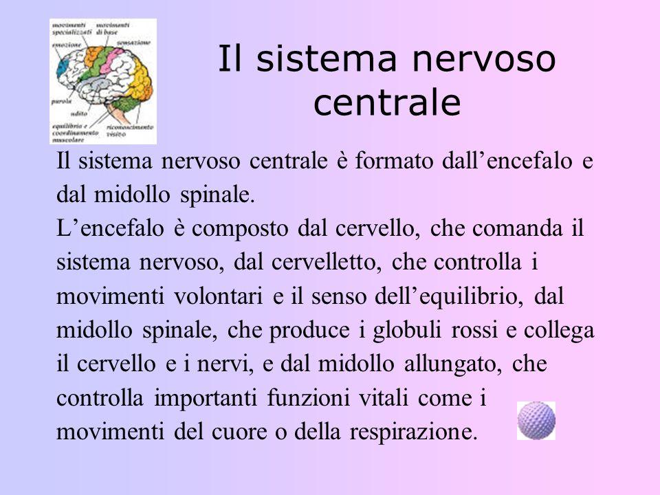 Il sistema nervoso centrale Il sistema nervoso centrale è formato dallencefalo e dal midollo spinale. Lencefalo è composto dal cervello, che comanda i