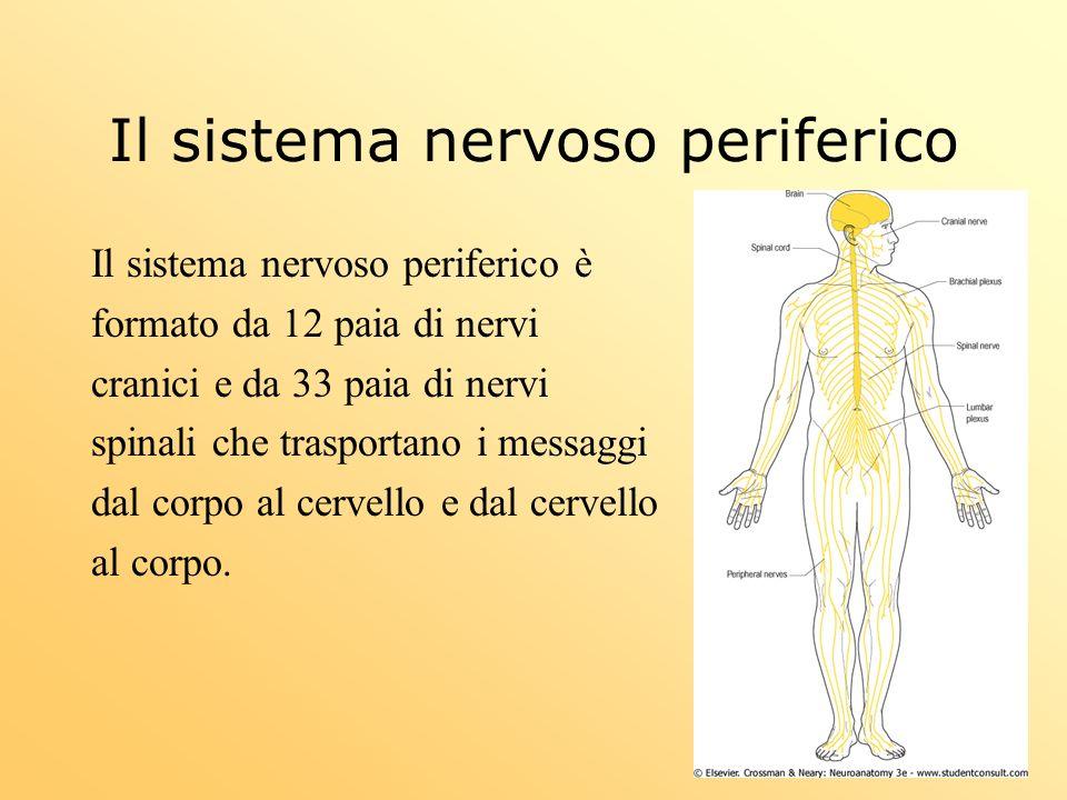 Il sistema nervoso periferico Il sistema nervoso periferico è formato da 12 paia di nervi cranici e da 33 paia di nervi spinali che trasportano i mess