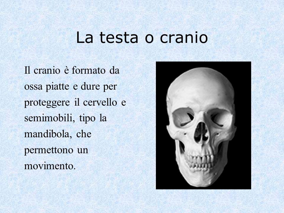 La testa o cranio Il cranio è formato da ossa piatte e dure per proteggere il cervello e semimobili, tipo la mandibola, che permettono un movimento.