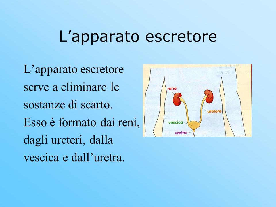 Lapparato escretore serve a eliminare le sostanze di scarto. Esso è formato dai reni, dagli ureteri, dalla vescica e dalluretra.