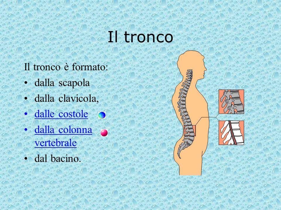 Il tronco Il tronco è formato: dalla scapola dalla clavicola, dalle costole dalla colonna vertebrale dal bacino.