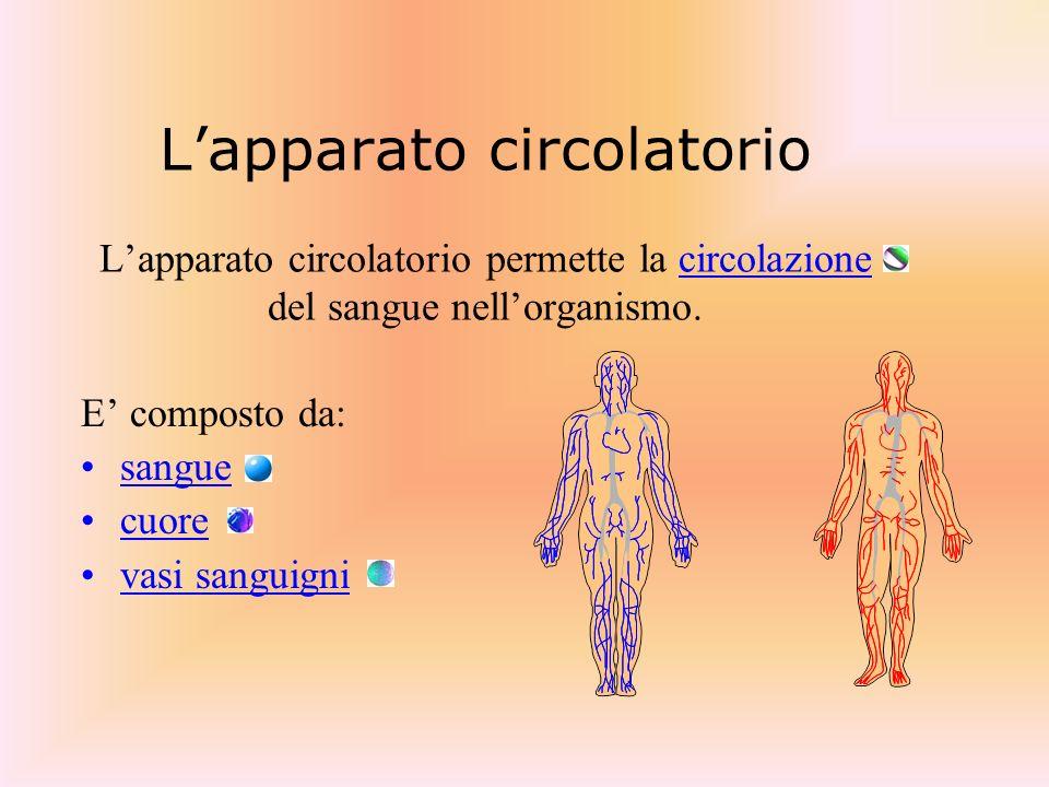 Lapparato circolatorio Lapparato circolatorio permette la circolazione del sangue nellorganismo. E composto da: sangue cuore vasi sanguigni